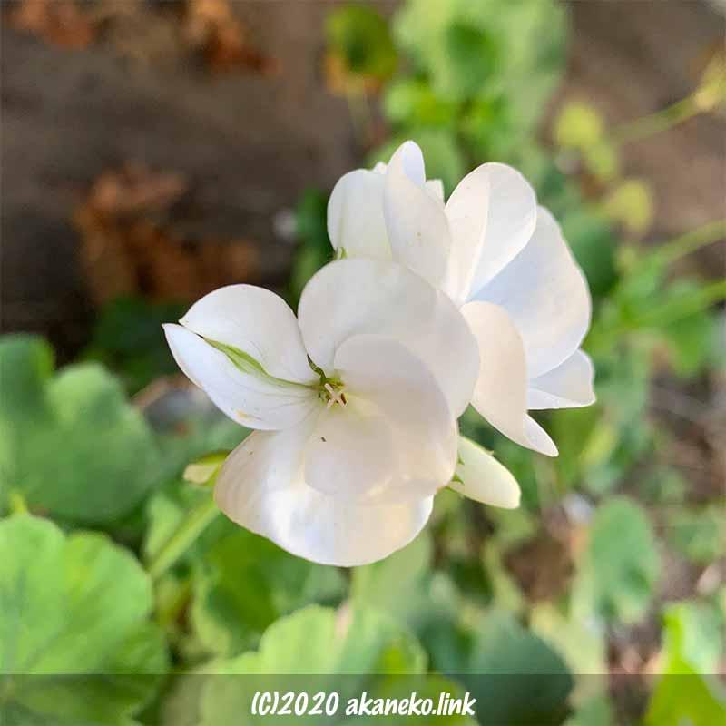白いゼラニウムの花