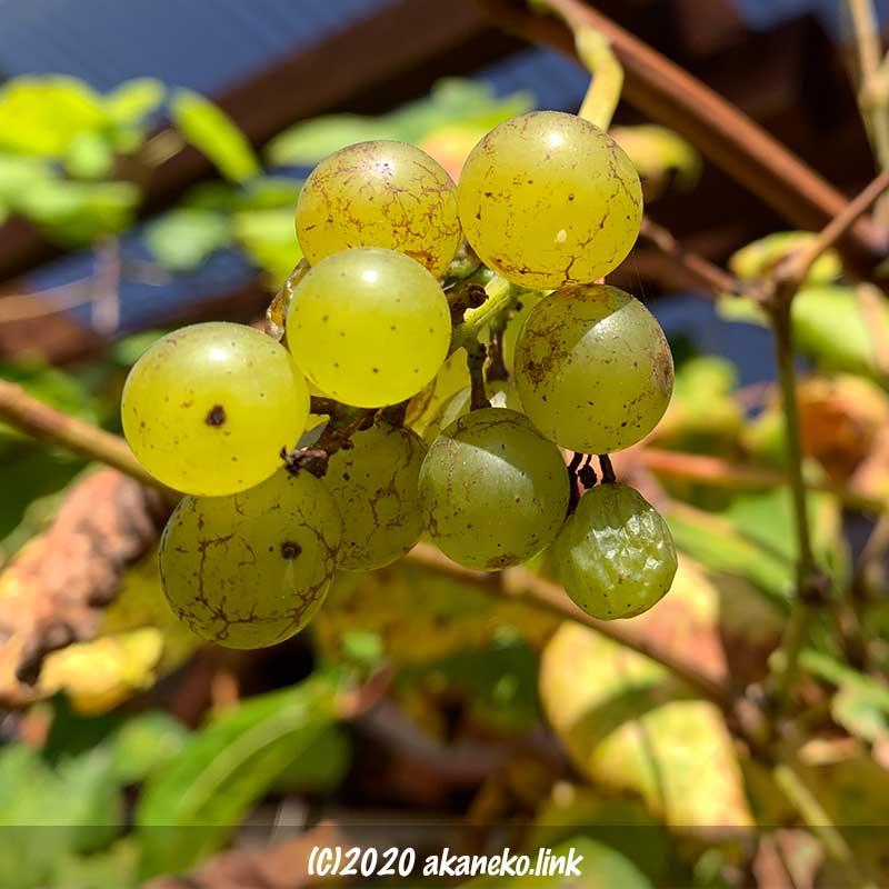 放任葡萄ヒムロッドシードレスの2回目の収穫