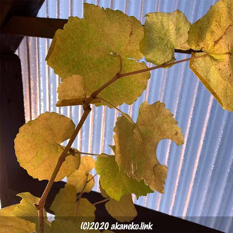 葡萄ヒムロッドシードレス12月に黄色く紅葉