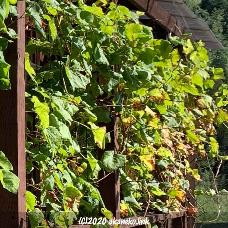 11月の葡萄ヒムロッドシードレスのグリーンカーテン