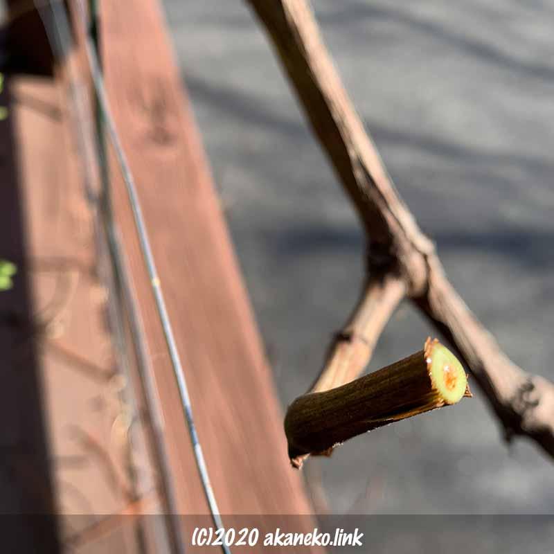剪定したぶどうの枝から滲み出る樹液