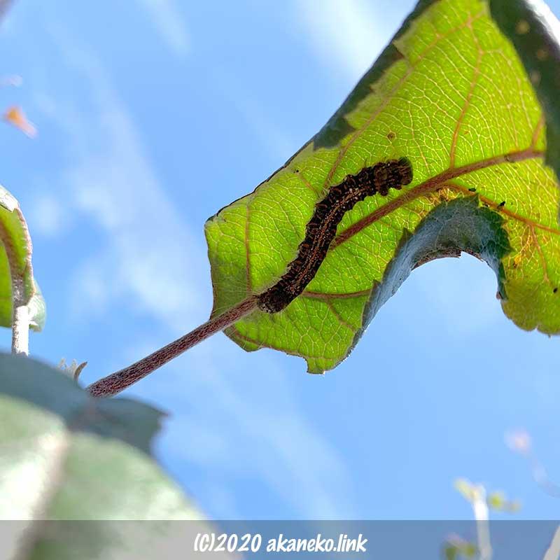 1月の冬の寒さをリンゴの葉の裏でしのぐキバラケンモンの幼虫毛虫