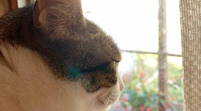 ガラス越しに外を見つめるキジ猫の横顔