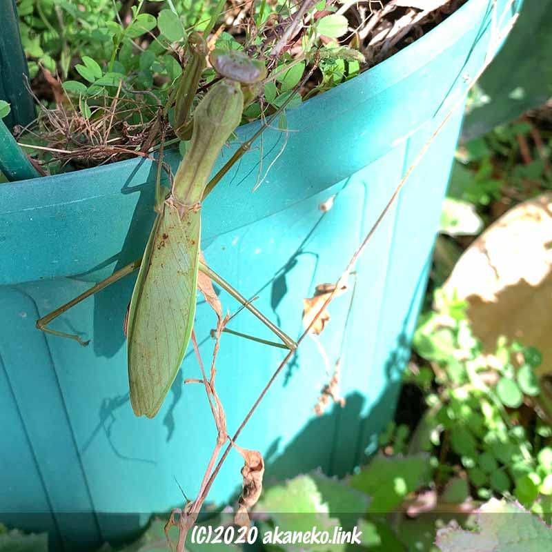 冬、一月の暖かな日に植木鉢にしがみついているカマキリ
