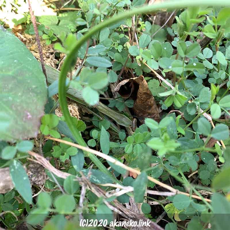 冬、1月の草むらで死んでいたカマキリ