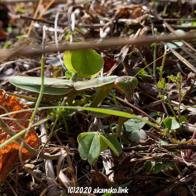 冬、1月の枯れ草の上でこちらを睨むカマキリ