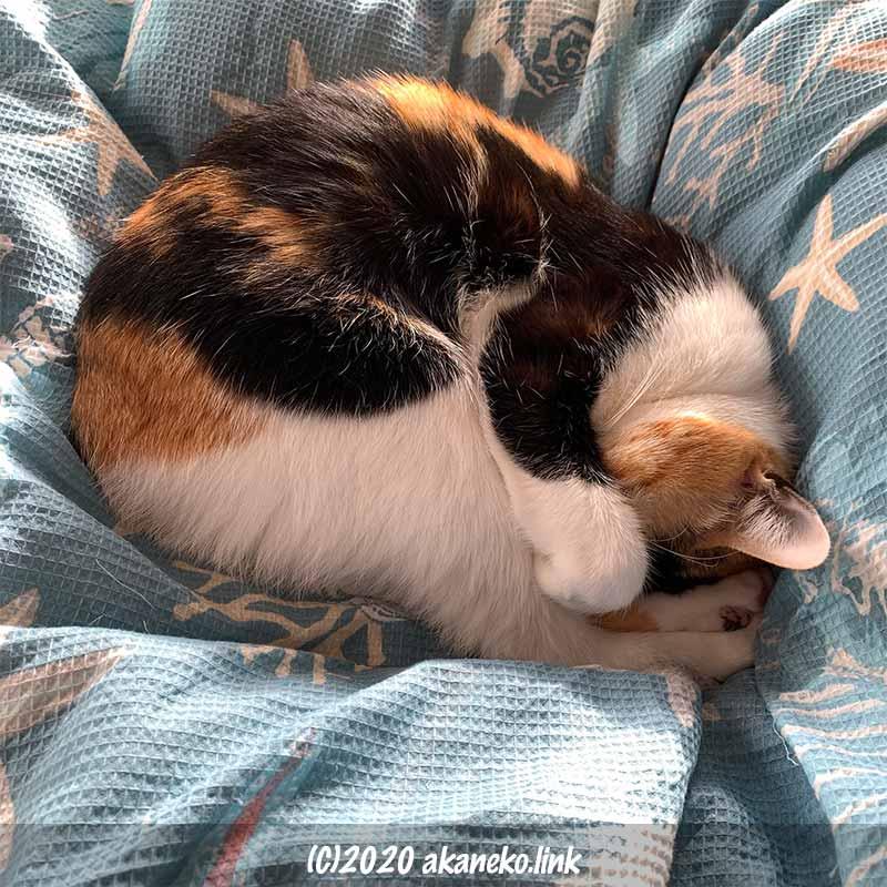 布団の上でニャンモナイト中の三毛猫