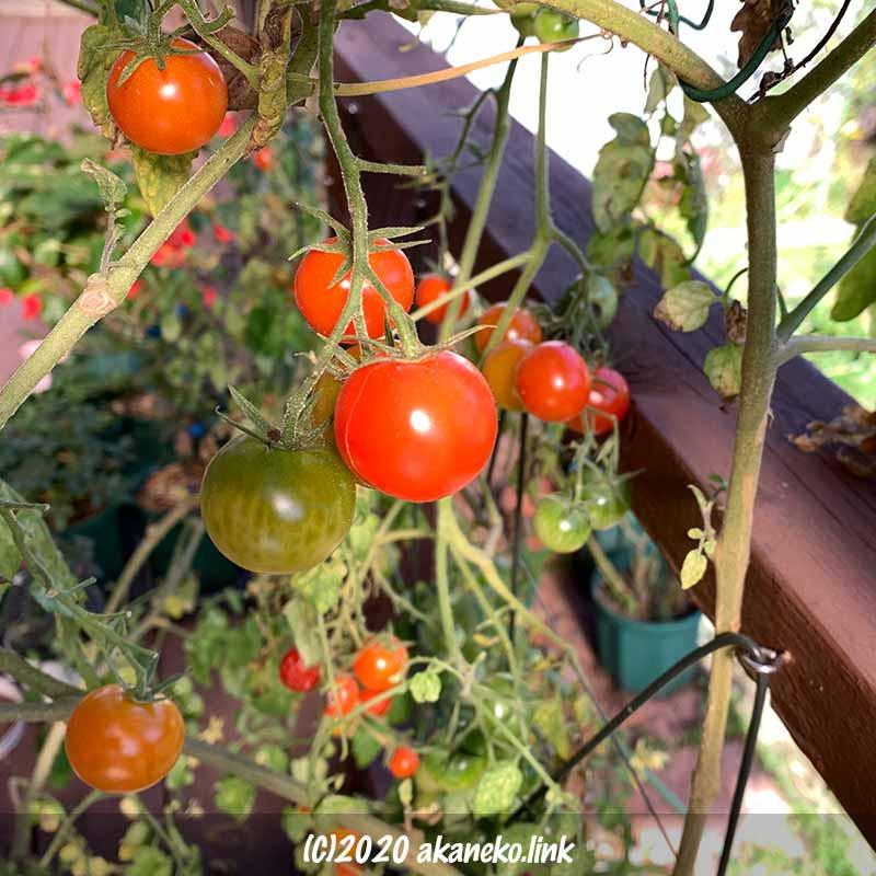 冬の水耕栽培ミニトマト収穫