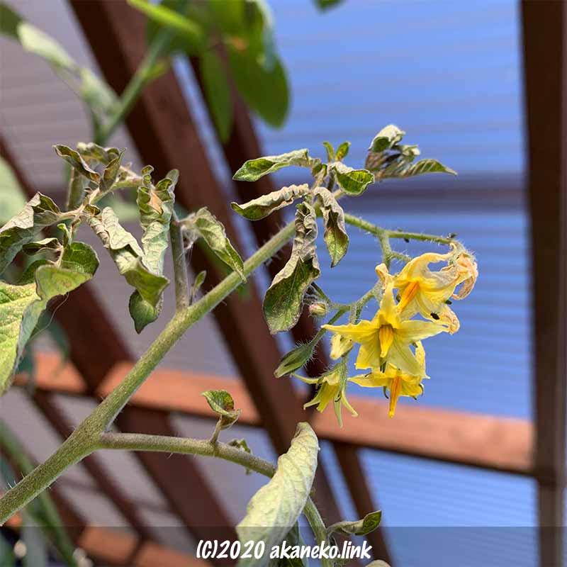 霜の被害を受けた冬のミニトマトの花