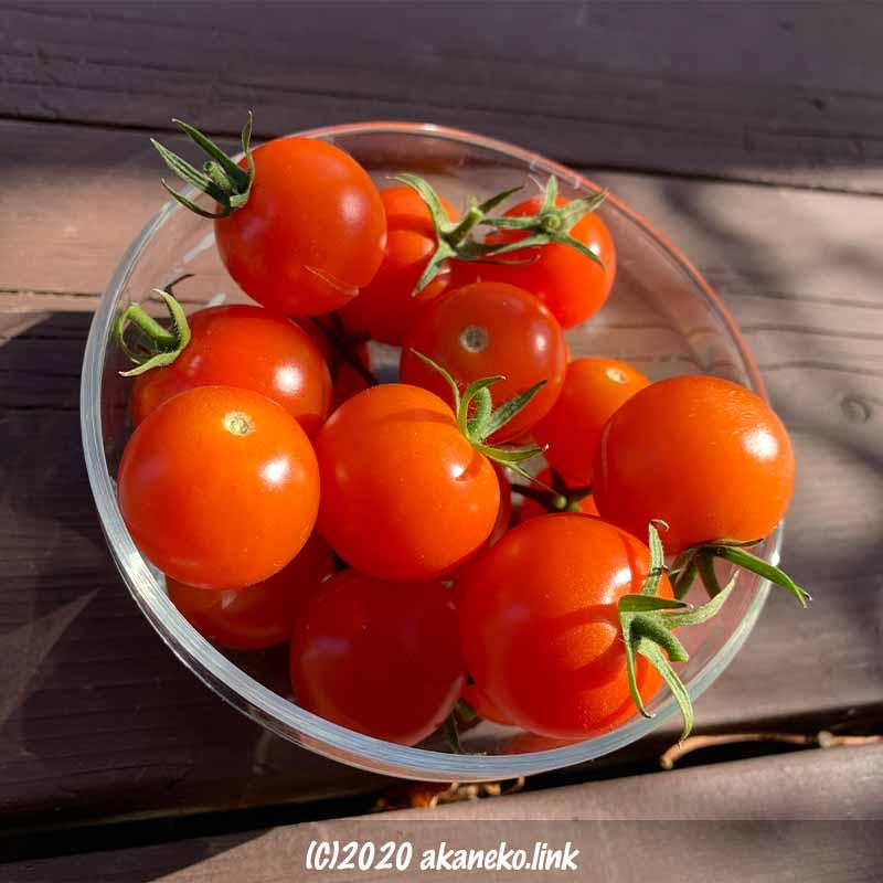 冬の水耕栽培ミニトマトの収穫