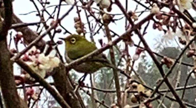 白梅開花、大分の県鳥メジロ飛来す