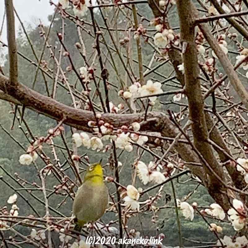 花咲いた梅の枝に止まって上を見上げるメジロ