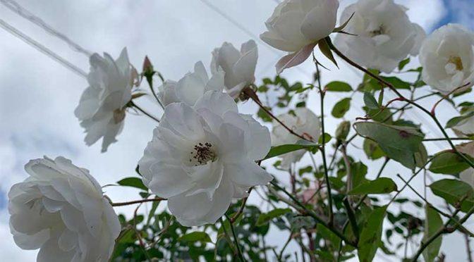 葉っぱの落ちない2月のバラ:我流剪定とローズヒップの贈り物