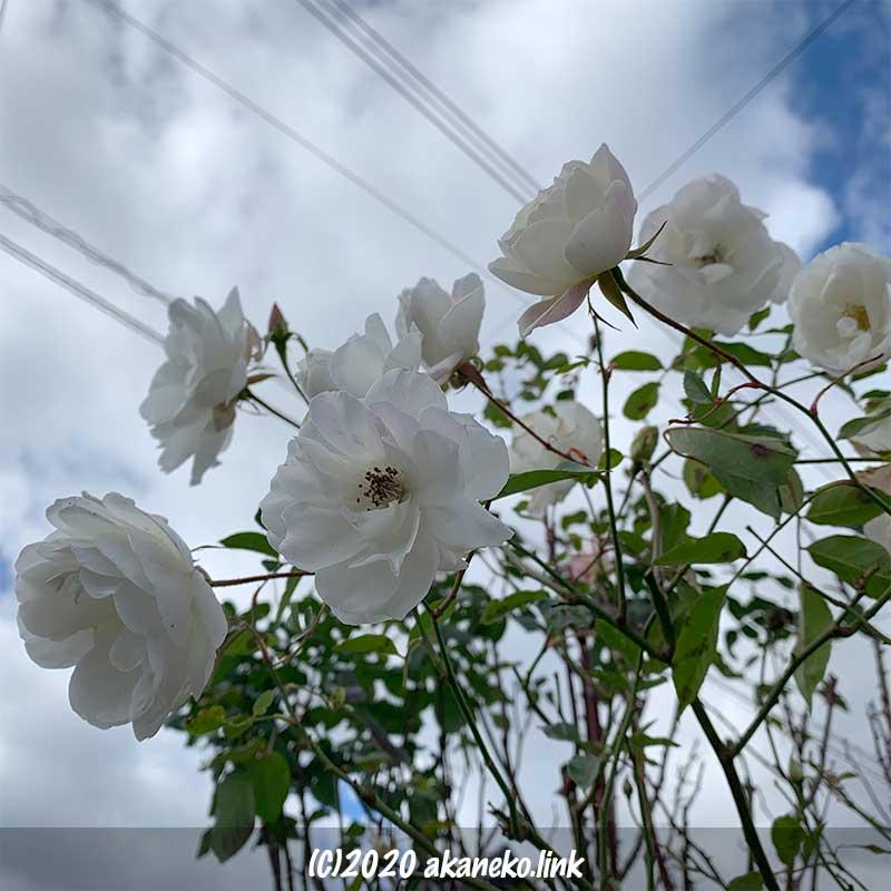 1月の白薔薇(アイスバーグ)