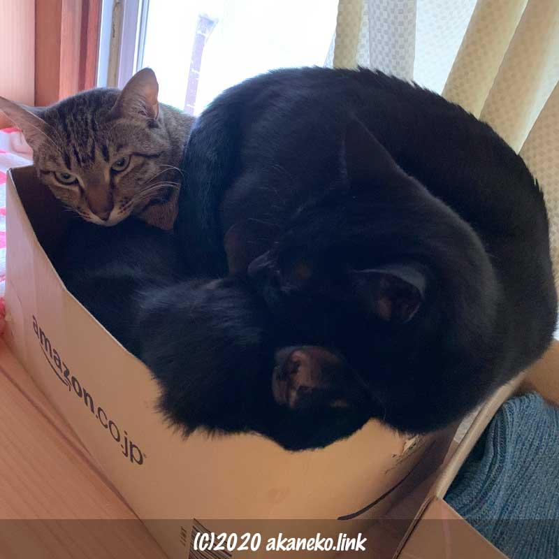 アマゾンのダンボールに無理やり体を詰め込んでいる3匹の猫
