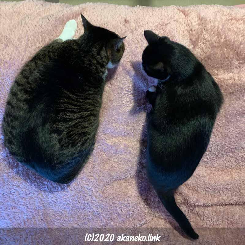 毛布の上で秘密会議中の2匹の猫