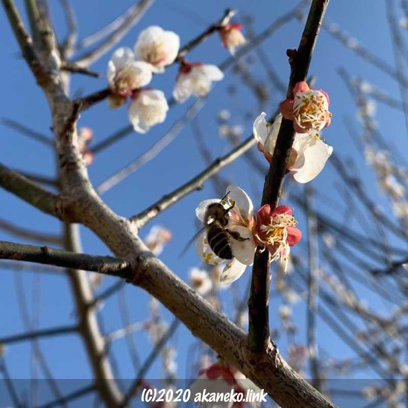 梅の花の蜜を吸うミツバチ