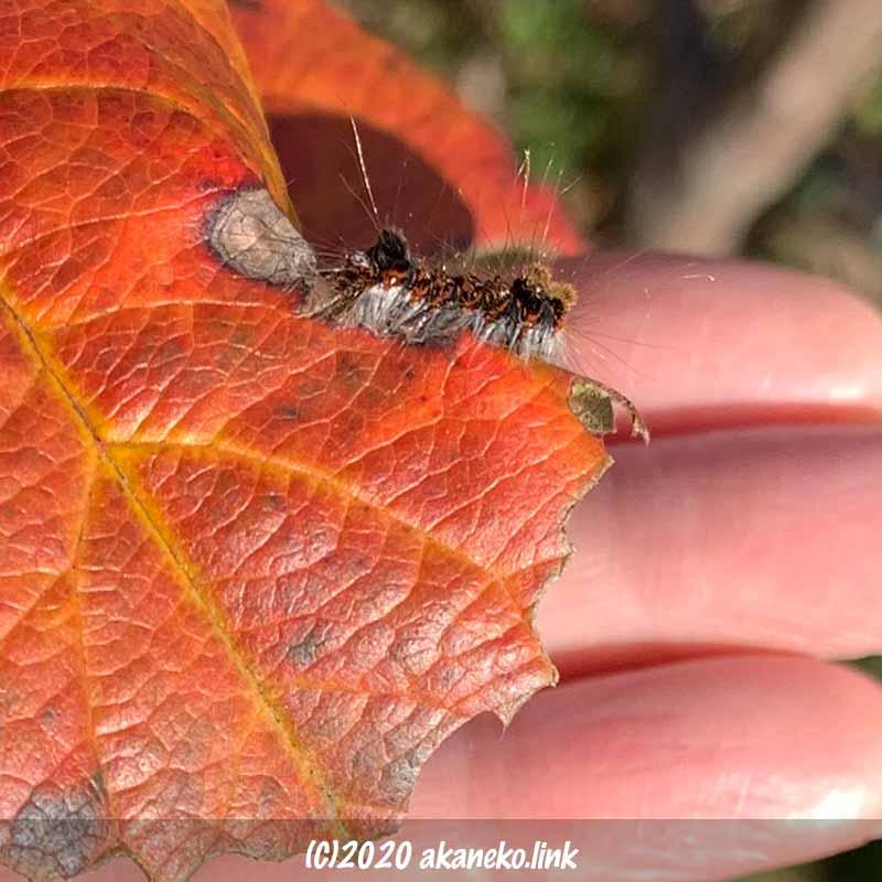 紅葉したリンゴ葉の上のとても小さなキバラケンモンの終齢幼虫