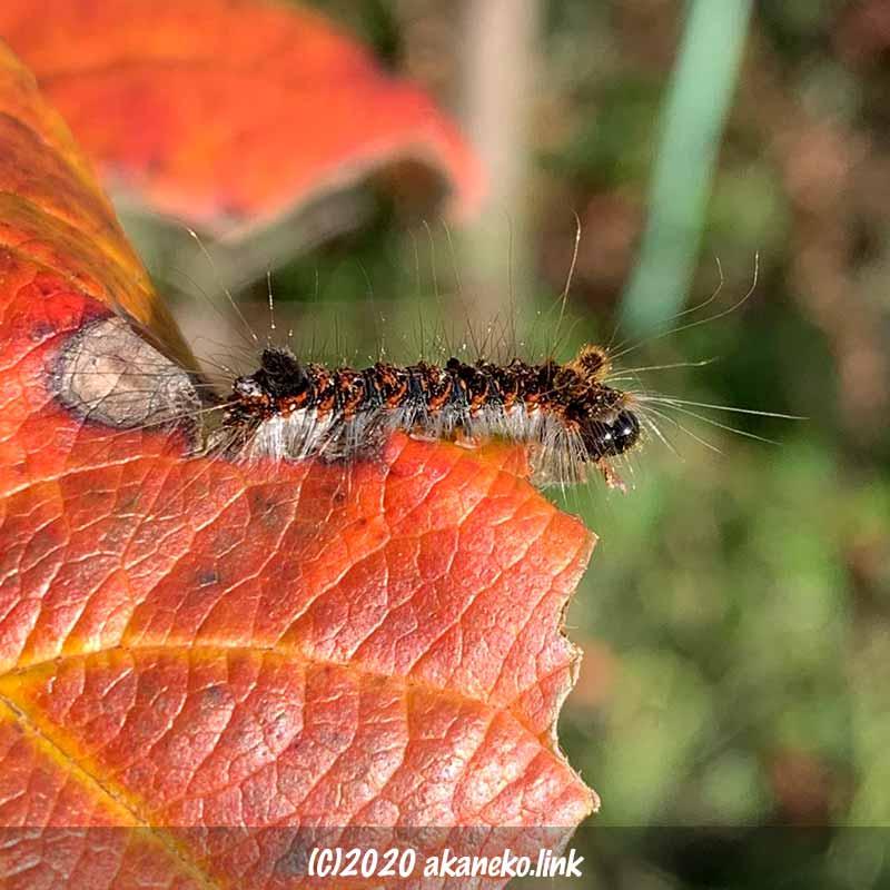 紅葉したリンゴの葉とキバラケンモンの終齢幼虫