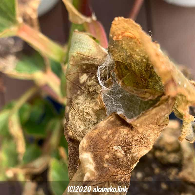 霜害を受けたベゴニアの葉の中のキバラケンモンの繭