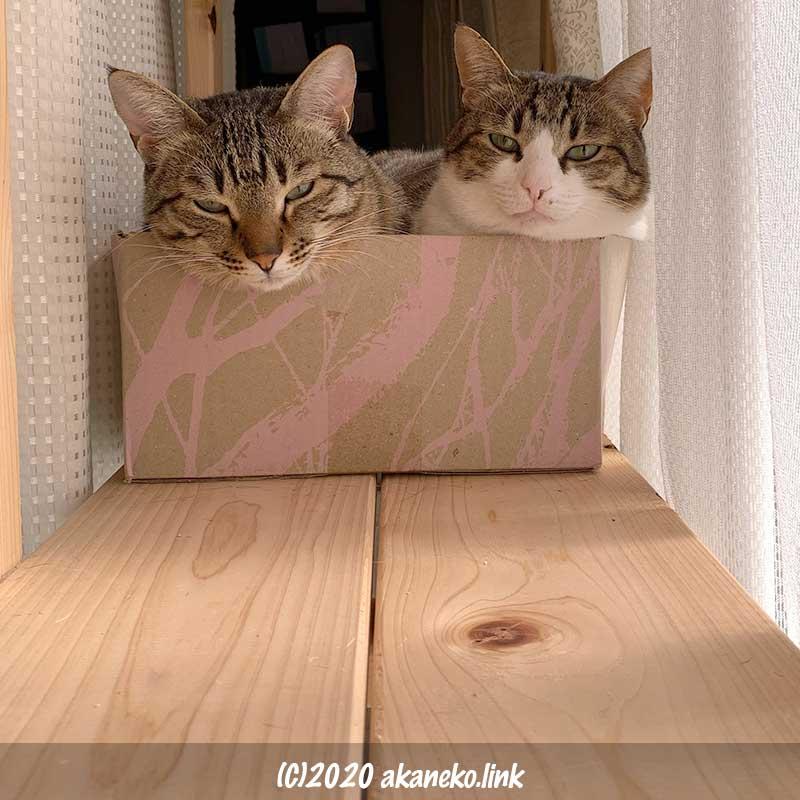 フェリシモのダンボールに入っている2匹の猫
