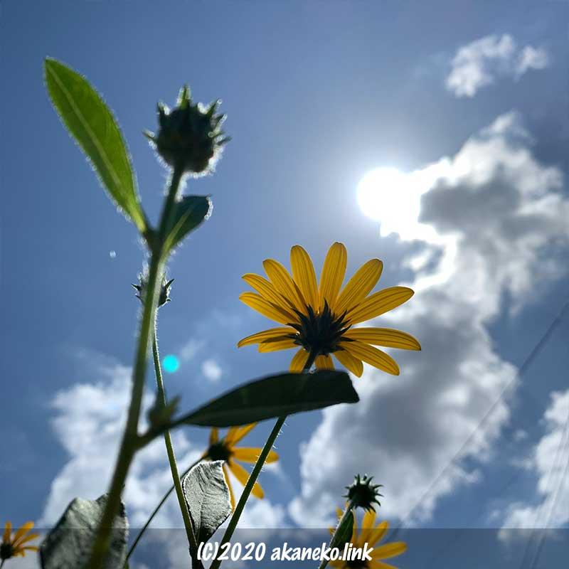 背高ノッポのキクイモの花