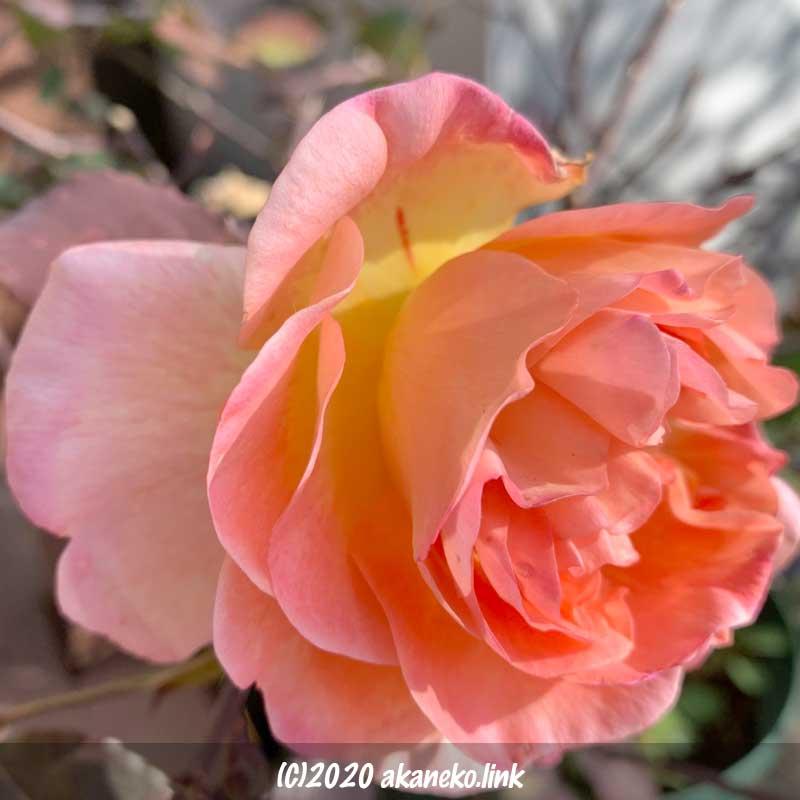 1月のバラ(レディエマハミルトン)