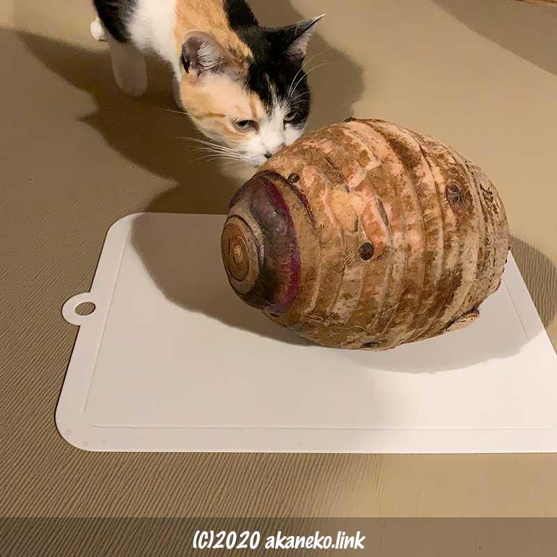 巨大な里芋を調査する三毛猫