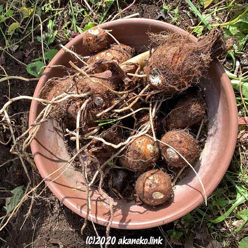 野良里芋の収穫
