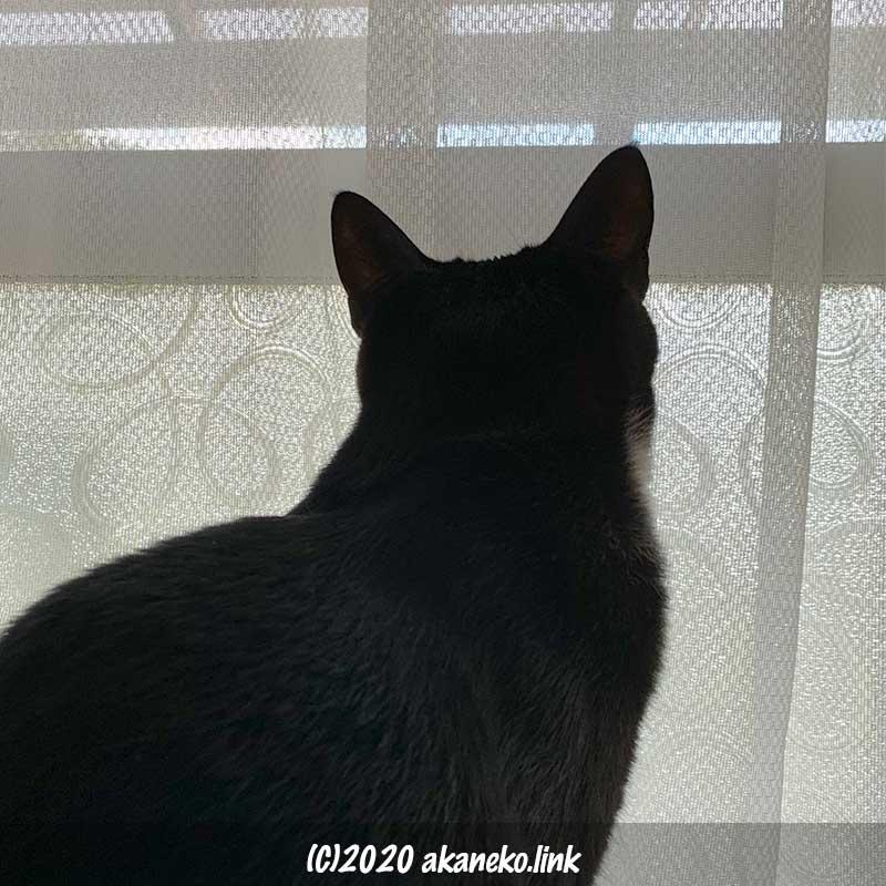 レースのかかった窓を見つめる猫の後ろ姿