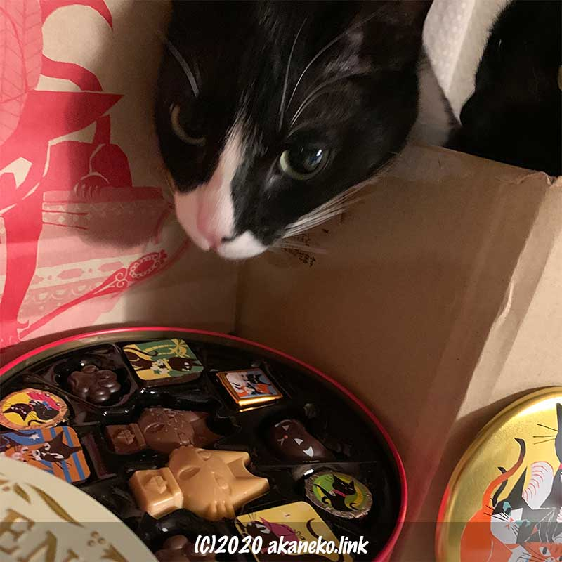 ゴンチャロフのチョコ、アンジュジュと猫