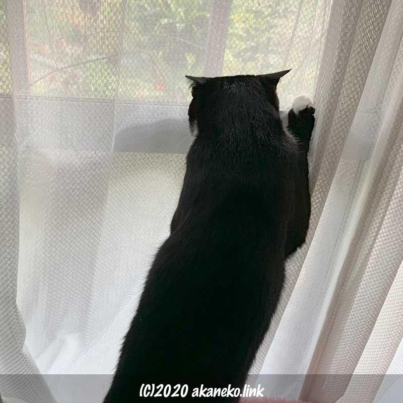 後ろ足で立ち上がってカーテン越しに外を覗く猫