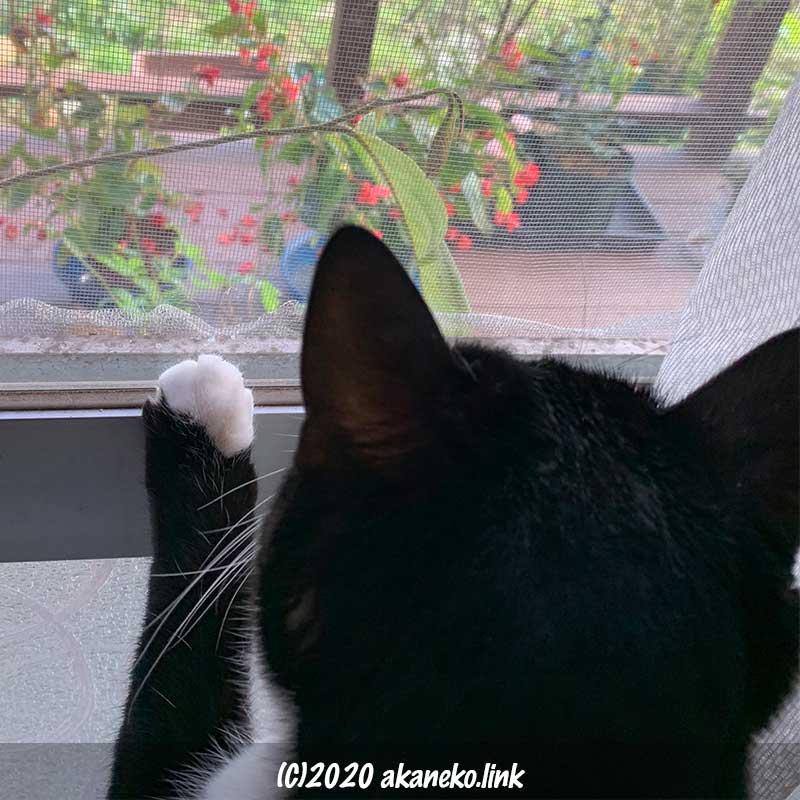 サッシに手をかけて窓の外を見つめる猫の後頭部