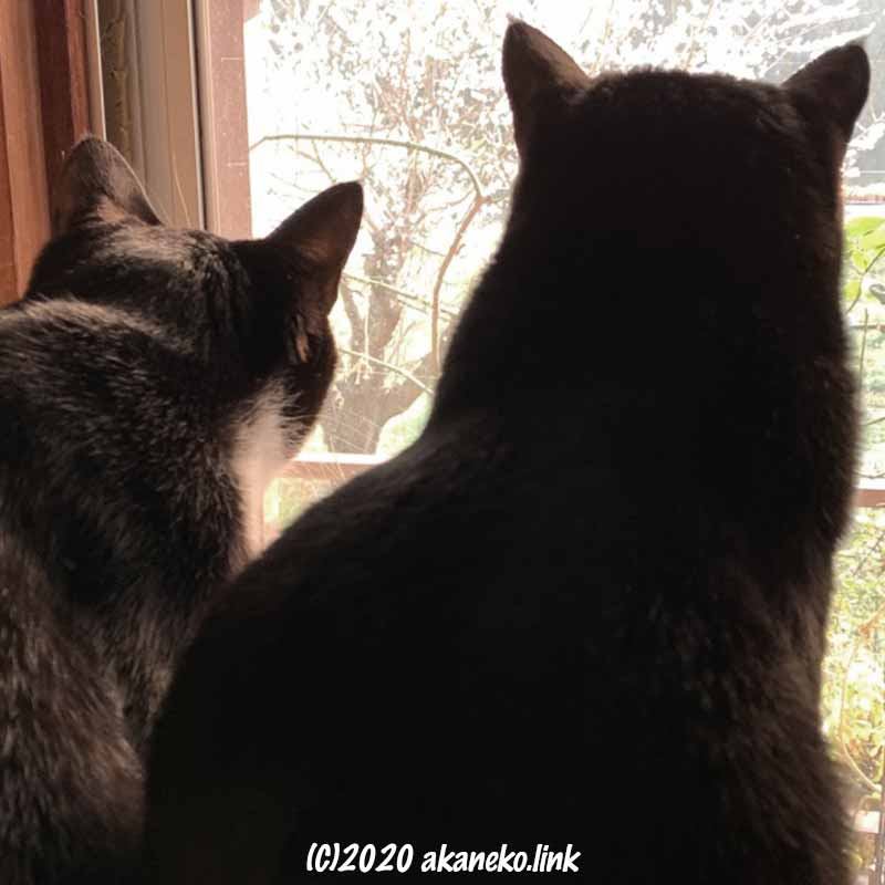 窓越しに満開の梅の木を見つめる2匹の猫
