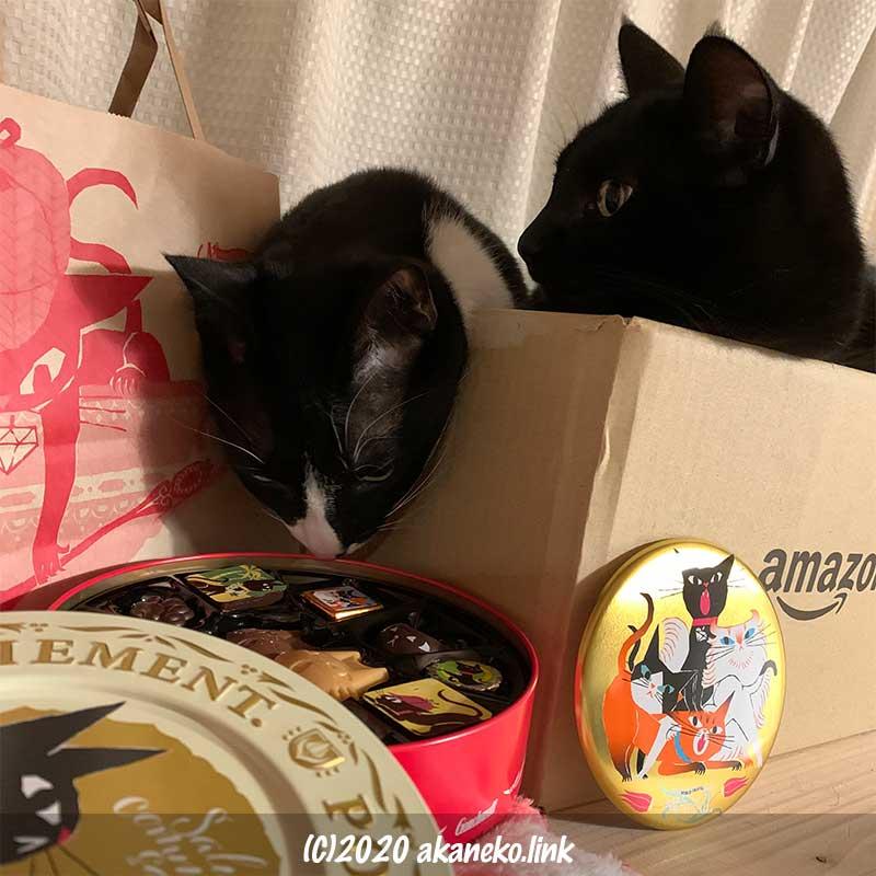 ゴンチャロフのバレンタインチョコのアンジュジュの香りを嗅ぐ猫