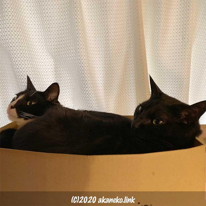 ダンボールに寝て顔を覗かせる2匹の猫