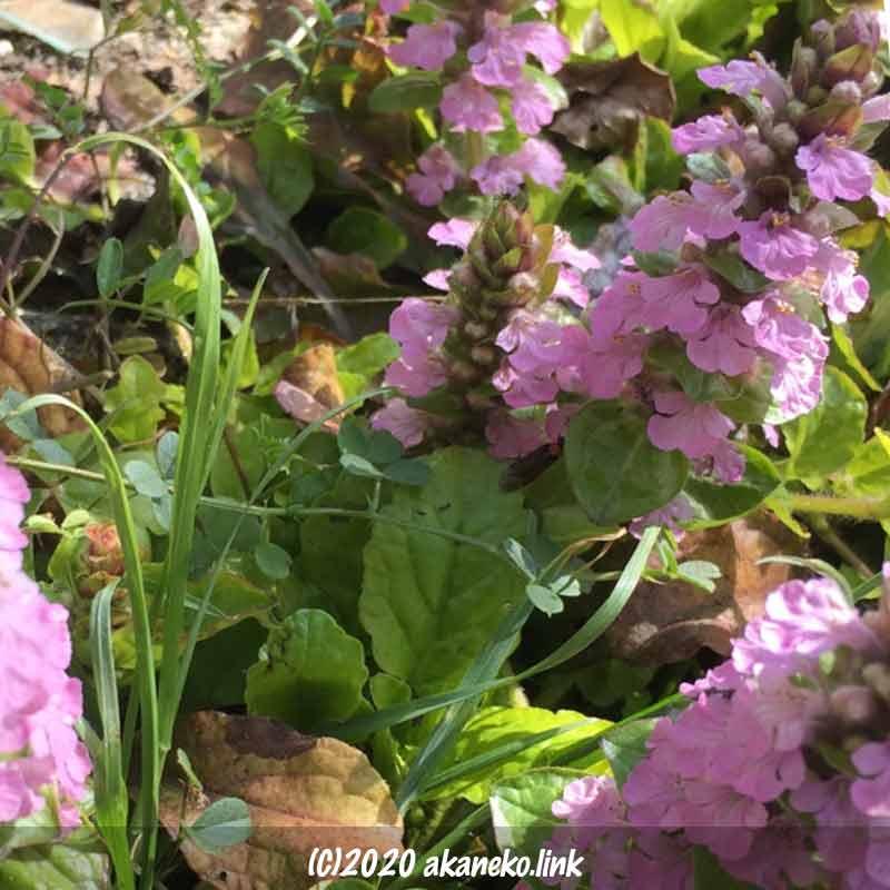 アシュガのピンクの花