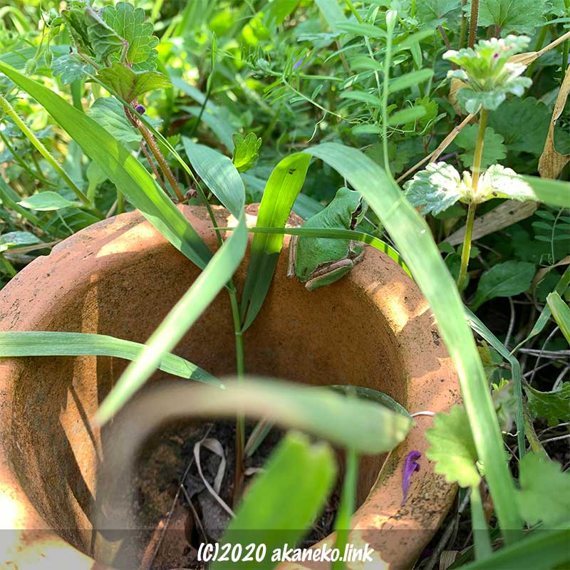 雑草に埋もれた植木鉢の縁に乗っている緑色のカエル(ニホンアマガエル)