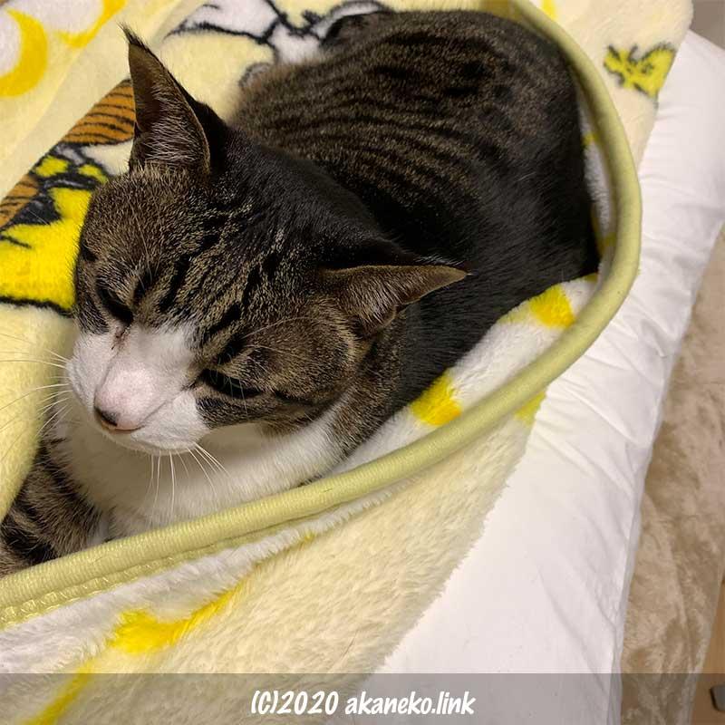 人間の枕を陣取った猫