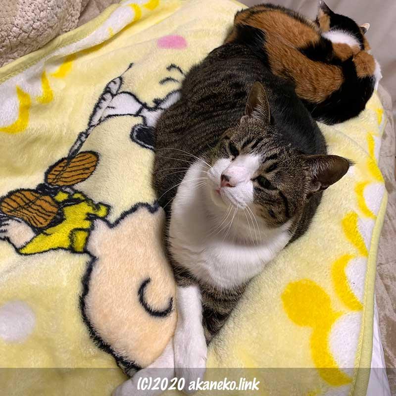 メディカル枕をベッドに使う2匹の猫