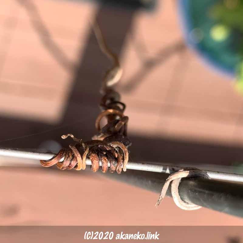 ワイヤーに巻き付いたまま枯れた葡萄の巻きヒゲ