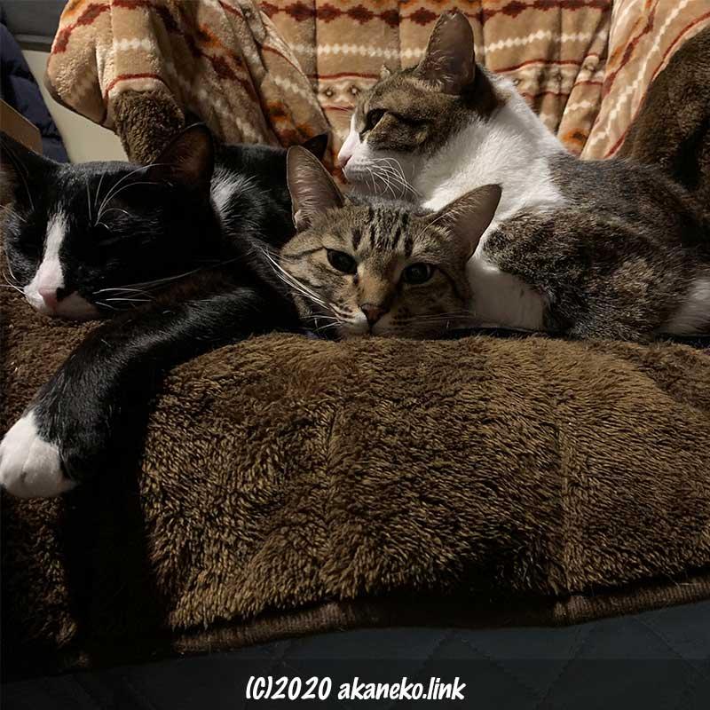 マッサージチェアを陣取った4匹の猫