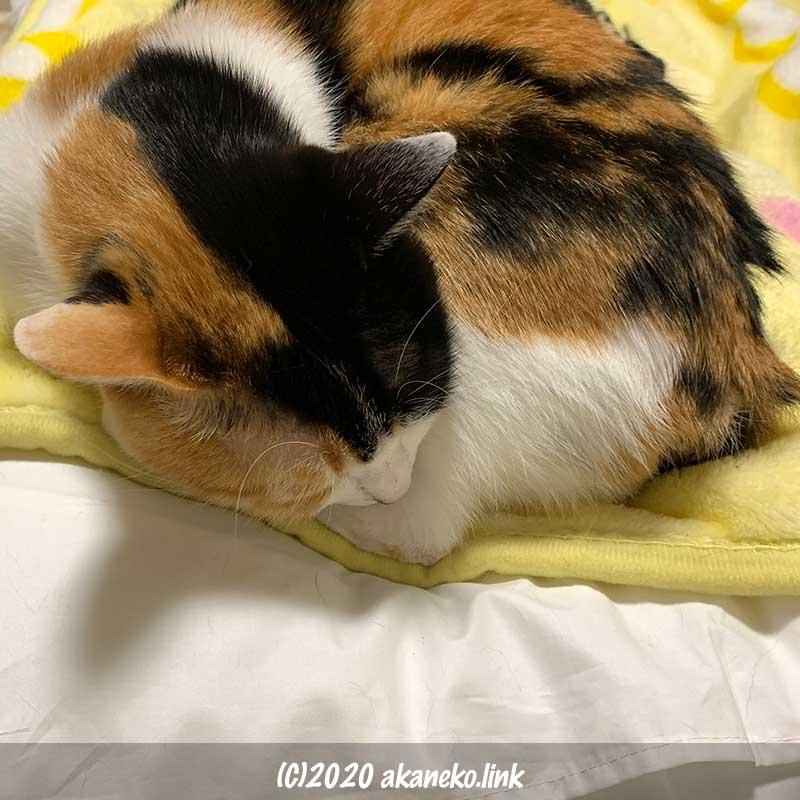 メディカル枕の端っこで眠る三毛猫