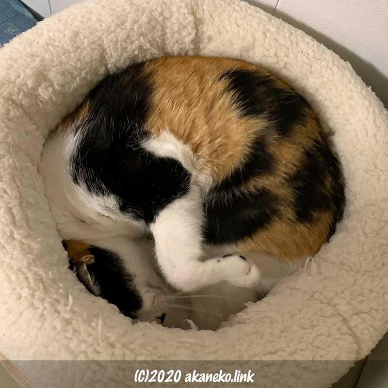 ニトリの犬・猫用ペットベッドにジャストフィットサイズの三毛猫