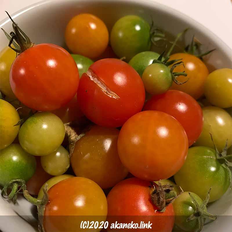冬の水耕栽培ミニトマト最後の収穫