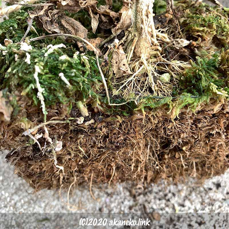 冬の水耕栽培ミニトマトの根っこ