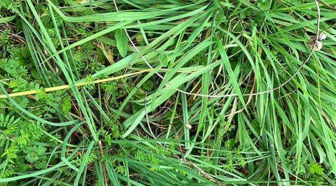 雑草の中のノビル(野蒜)