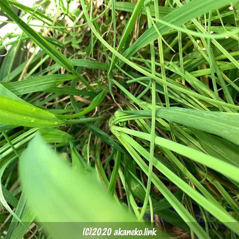 イネ科の雑草とノビル(野蒜)が混じって生えている