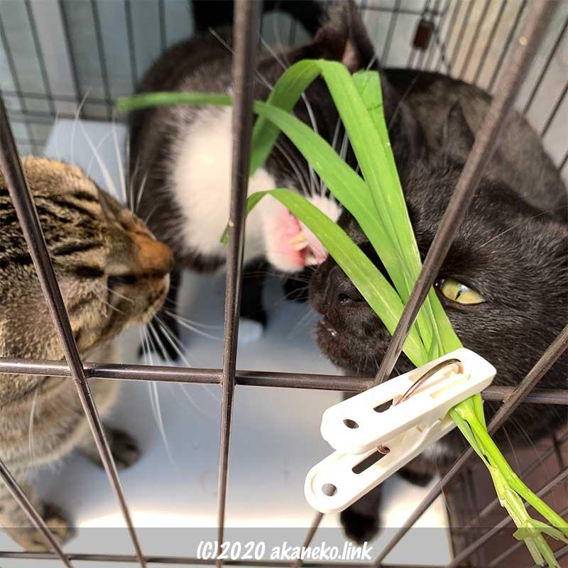 ケージに洗濯ばさみで止めた猫草に群がる3匹の猫