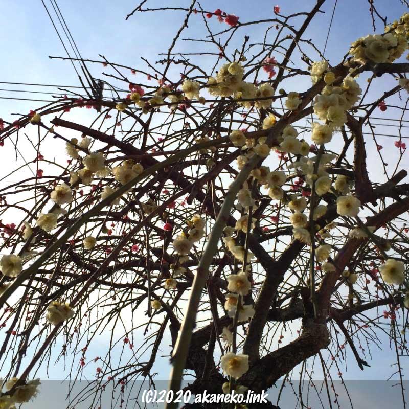 紅白枝垂れ梅の花